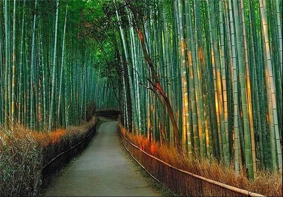 درخت بامبو