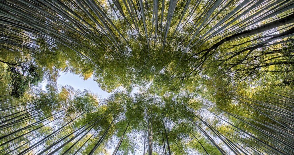 درخت چینی بامبو